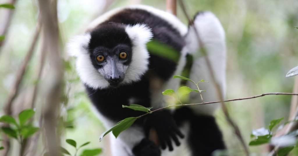 Amazing Rainforest Animal: Indri