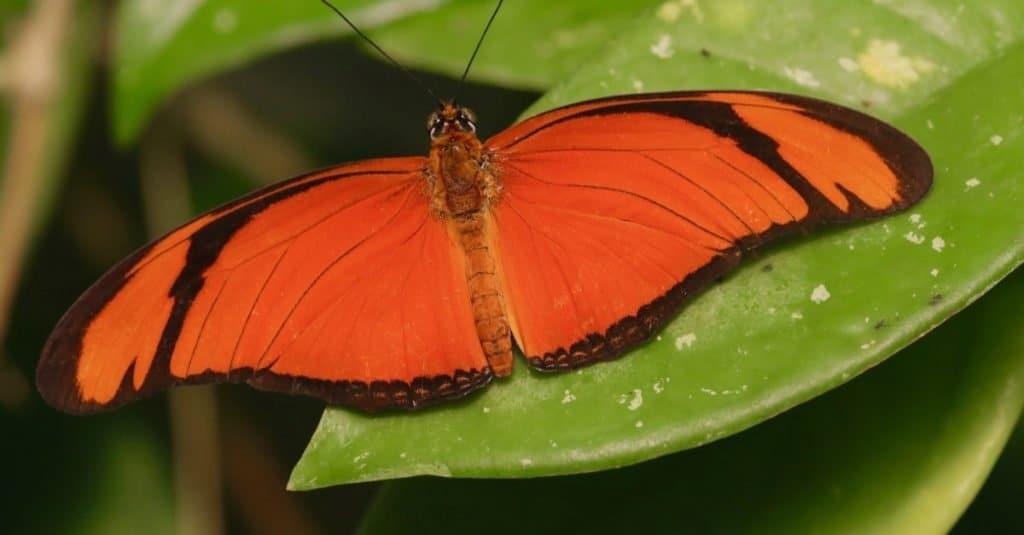 Amazing Rainforest Animal: Orange Albatross Butterfly
