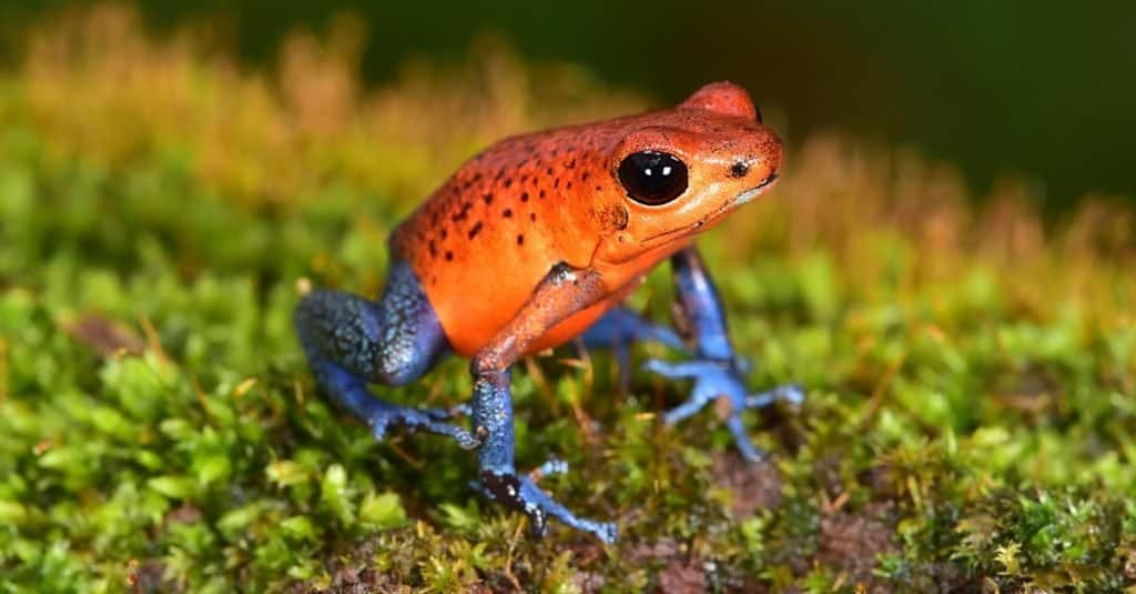 Amazing Rainforest Animal: Poison Dart Frog