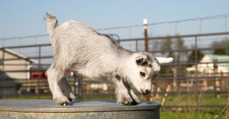 American Pygmy Goat kid likes to play and rest.
