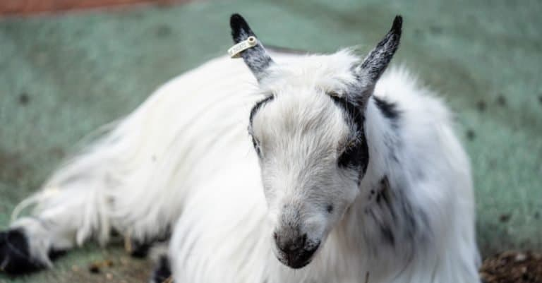 American Pygmy goat is an American breed of achondroplastic goat