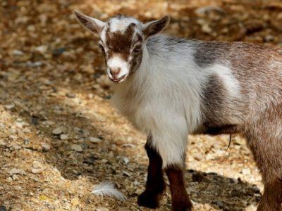 A American Pygmy Goat