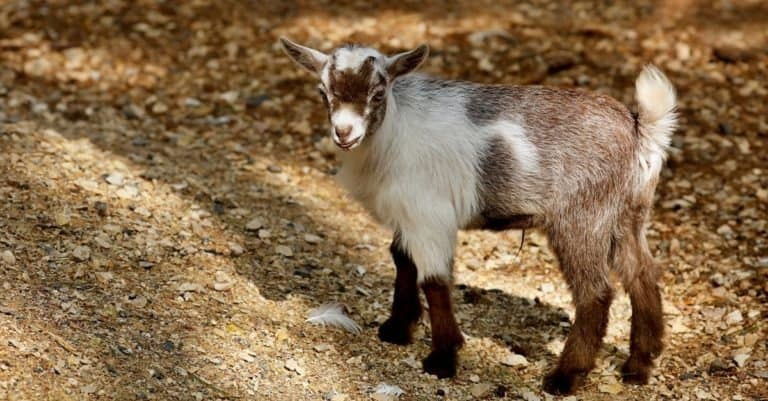 The American Pygmy is an American breed of achondroplastic goat.