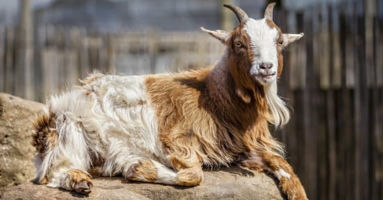 American pygmy goat relaxed lying down on a rock.