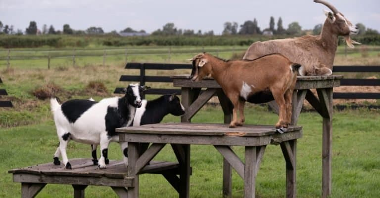 American Pygmy Goats stand and lie on wooden platforms and tables in a pasture.