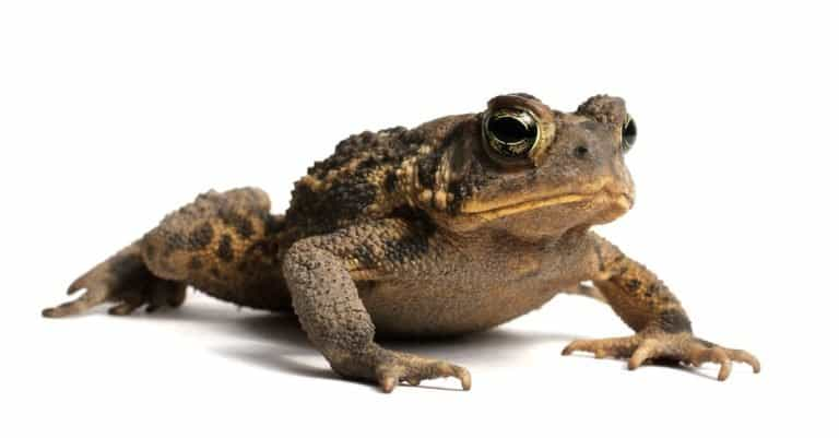 American Toad isolated on a white background.