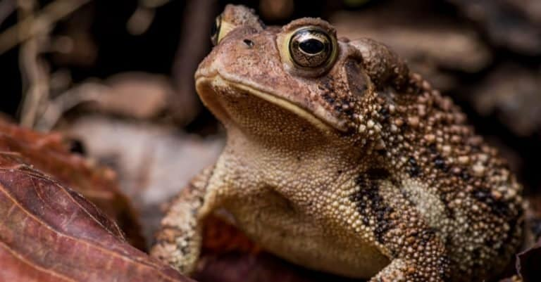 Eastern American Toad sitting on dry leaves and twigs.