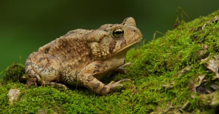 Eastern American Toad sitting on moss at the water's edge.