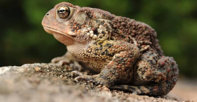 Close-up of American Toad sitting on a rock.