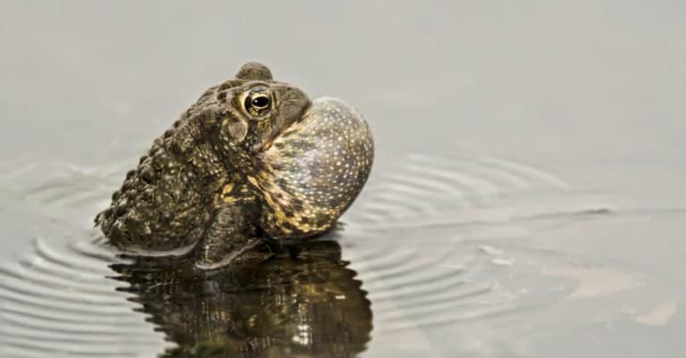An American Toad with throat sac inflated, singing his song and creating ripples in the water.