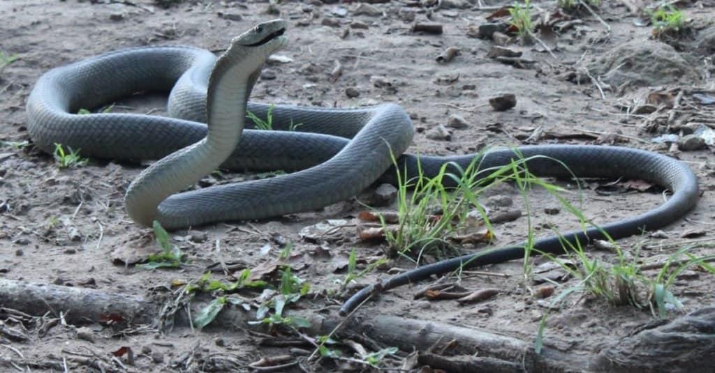 Las serpientes más grandes: la mamba negra