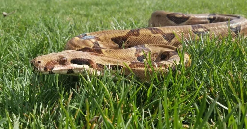 Las serpientes más grandes: la boa constrictor