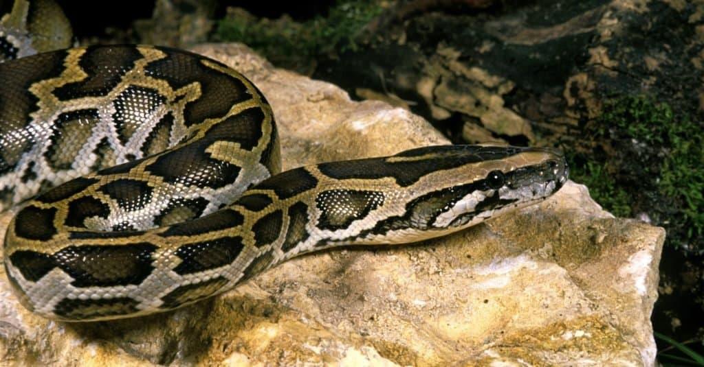 Las serpientes más grandes: la pitón india
