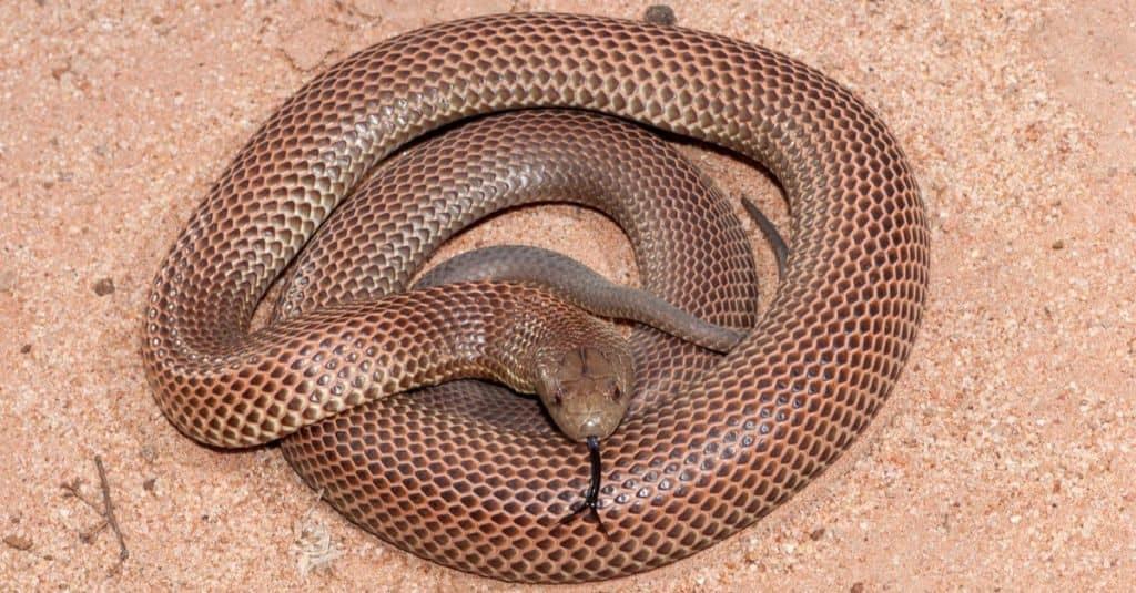 Las serpientes más grandes: la serpiente marrón rey