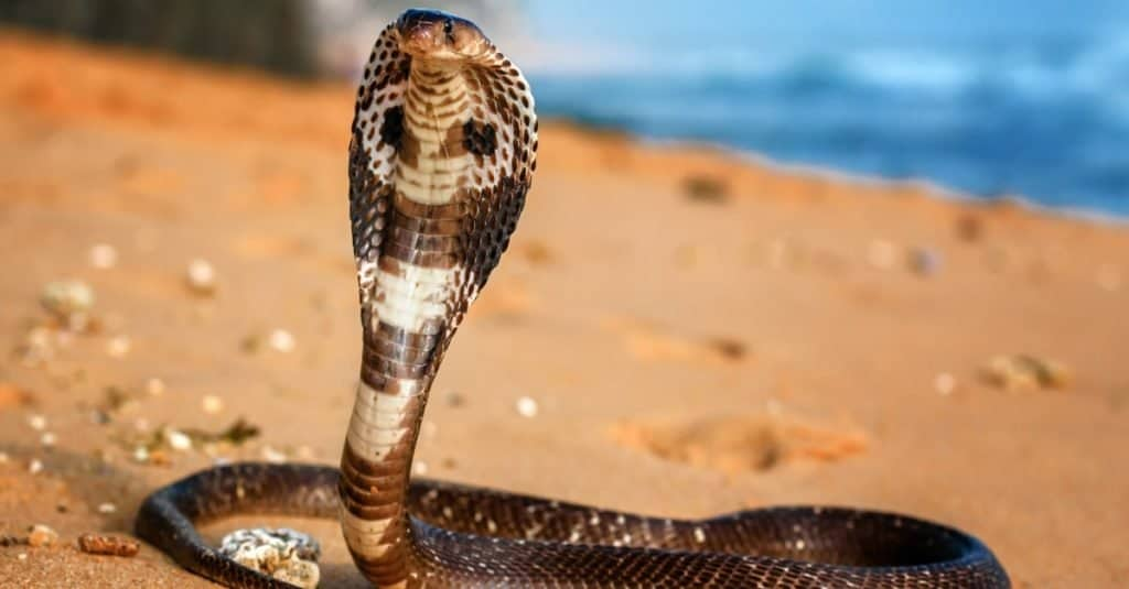 Las serpientes más grandes: la cobra real