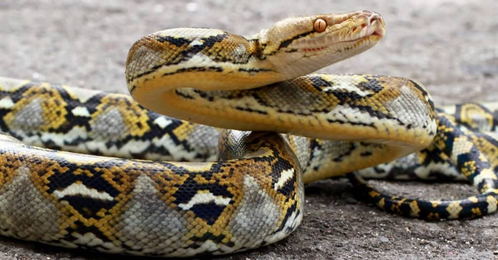 Las serpientes más grandes: la pitón reticulada