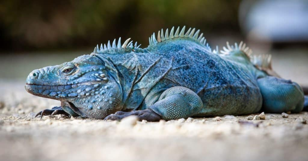 Extremely Rare Blue Iguana (Cyclura lewisi) is protected in the Queen Elizabeth II Botanic Park, where you can find the real natural habitat of this surprising creature.