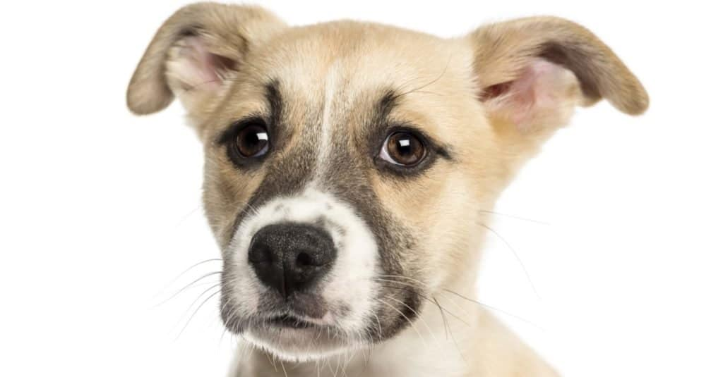 Close-up of a Husky Boxer Mixed-breed puppy, 3 months old, isolated on white