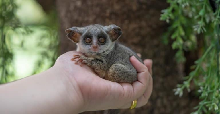 Bush baby also called galagos, are small, saucer-eyed primates that spend most of their lives in trees. At least 20 species of galago are known.