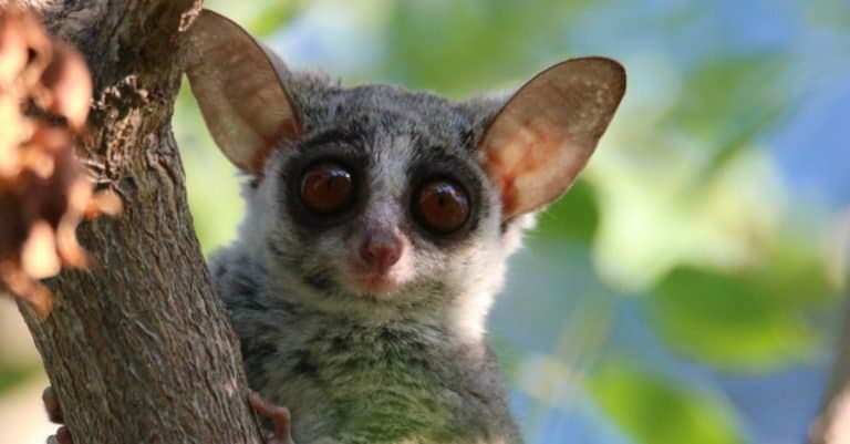 Close-up of a bush baby in a tree