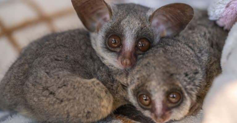 Bush baby is an exotic pet. They are very cute.