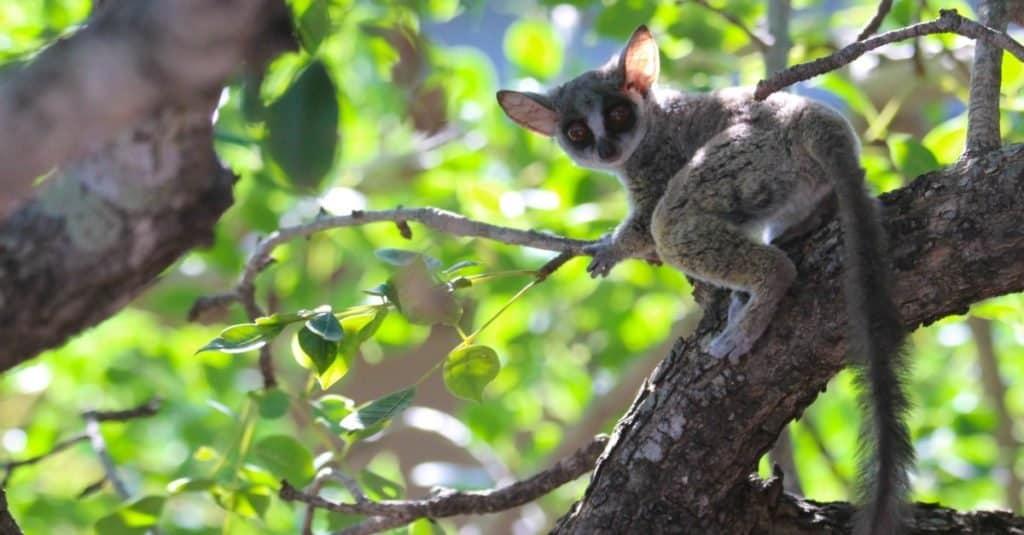 Bush Baby getting ready to jump in a marula tree.