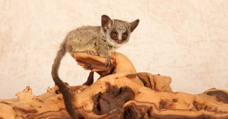 Very young Bush baby sitting on driftwood against a beige background