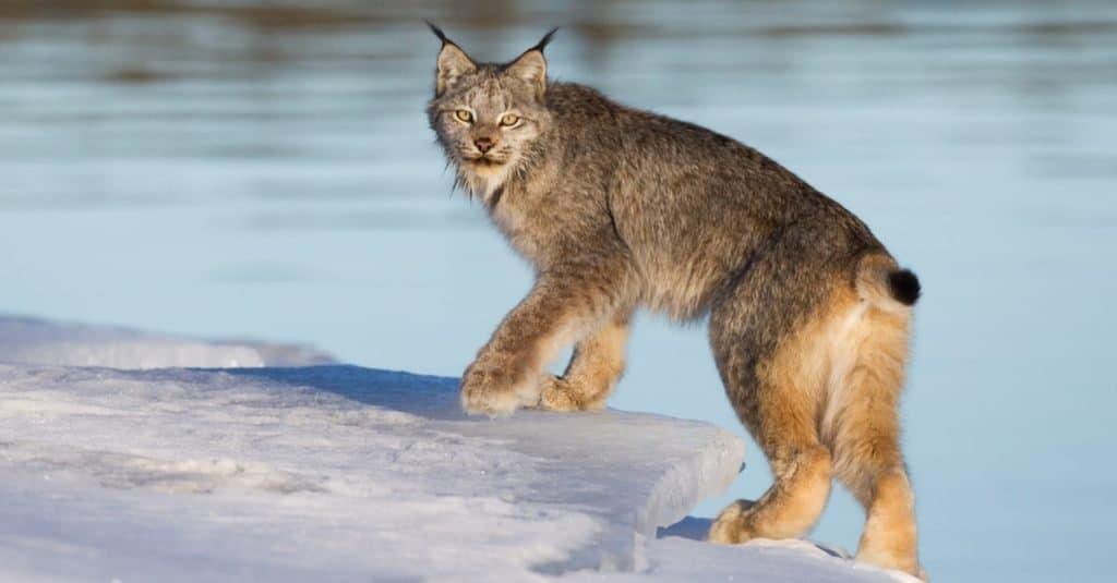 Canada Lynx on the edge of the ice along Alaska highway at Johnson's Crossing, Yukon, Canada.