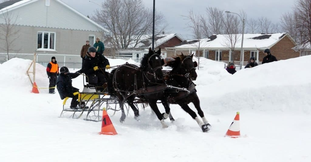 Canadian horse pulling sleigh in winter obstacle cone driving. This breed is a strong, muscled light horse, generally used for riding and driving