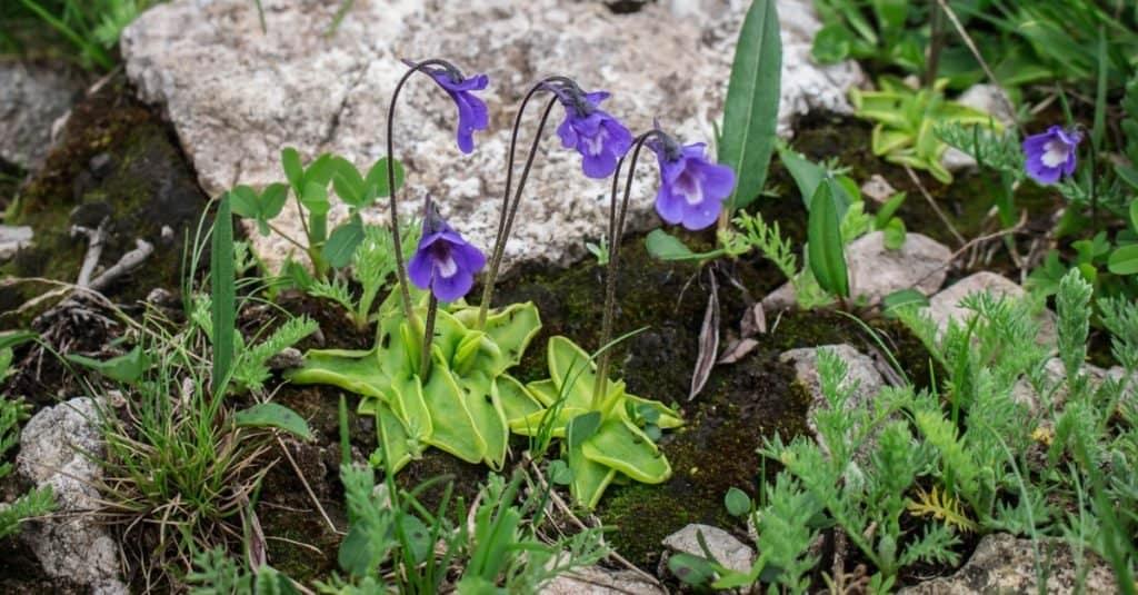 Plantas carnívoras: Butterwort
