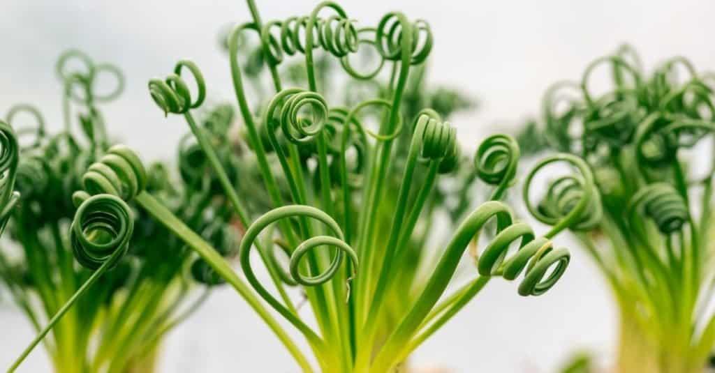 Plantas carnívoras: planta sacacorchos