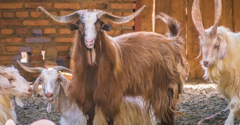 A herd of Hexi Cashmere goats in a meadow