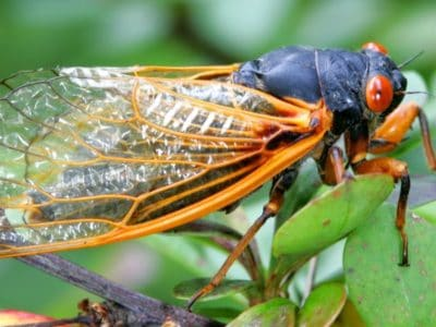 A Cicada Brood X 2021: What is it and should you be concerned?