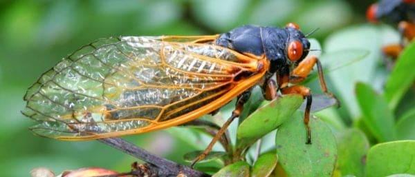 Cicada Brood X 2021