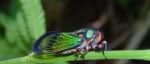 Beautiful cicada - Carineta diardi in forest, climbing a plant.