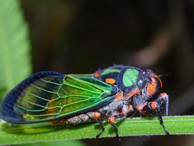 A Cicadas in New York: What's Happening Now?