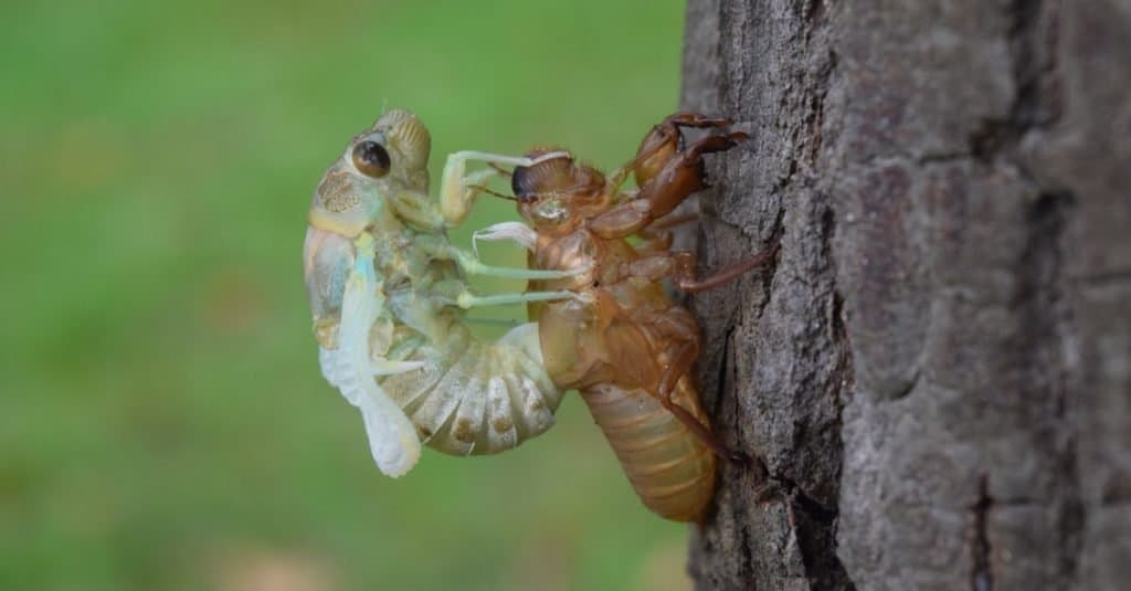 Will Cicadas Cause More Snakes