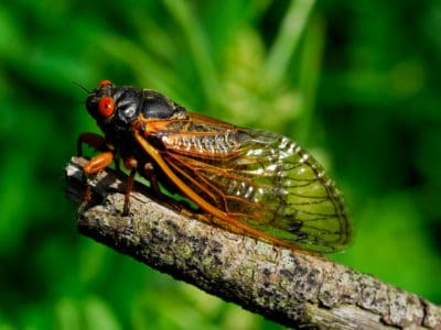 A Cicadas in Virginia: What's Happening Now?