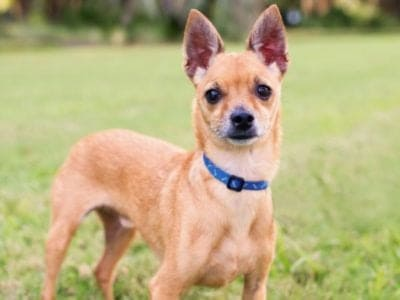 A Deer Head Chihuahua