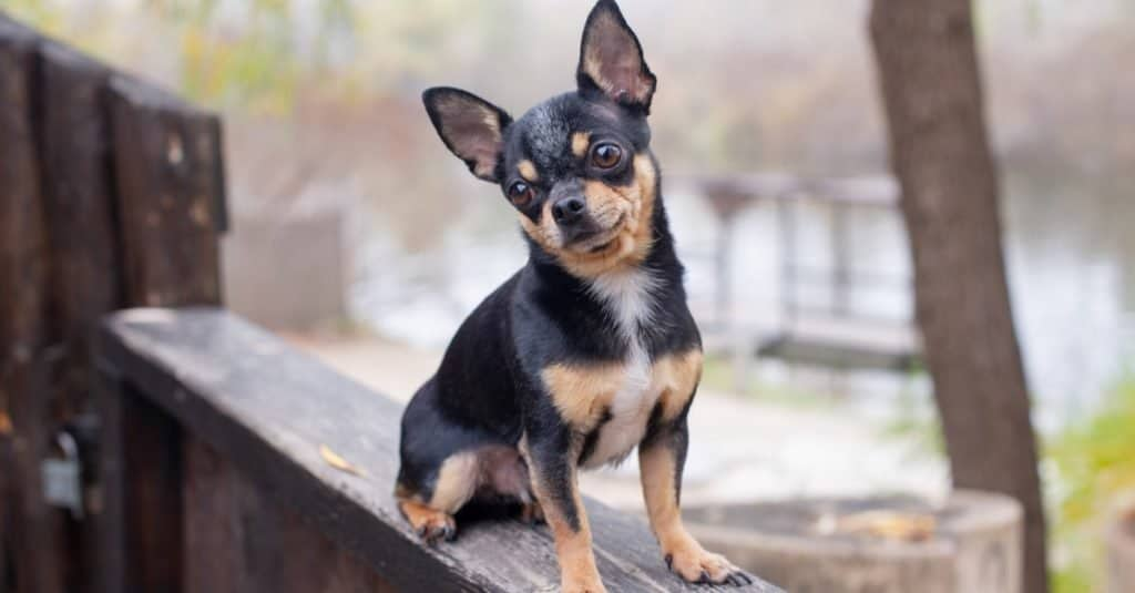 A pet Deer Head Chihuahua sitting on a deck outside.