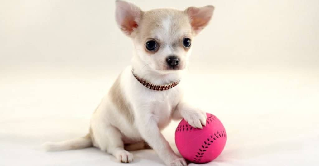 Cute short-haired white color miniature Deer Head Chihuahua puppy with a tennis ball on white background.