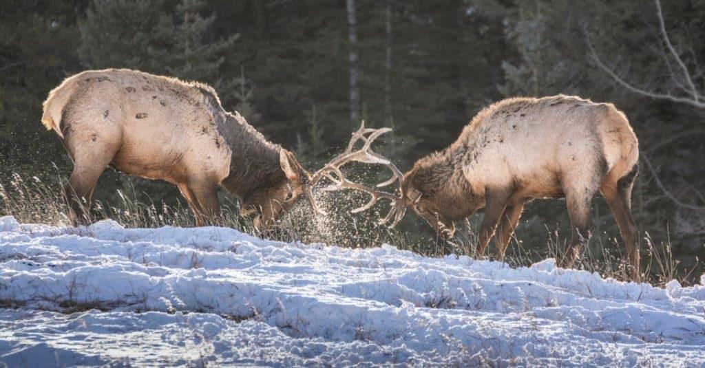 Sparring Elk in Banff National Park, Alberta, Canada.