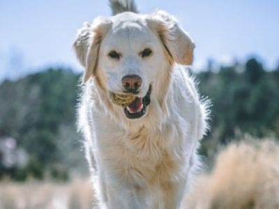 A English Cream Golden Retriever