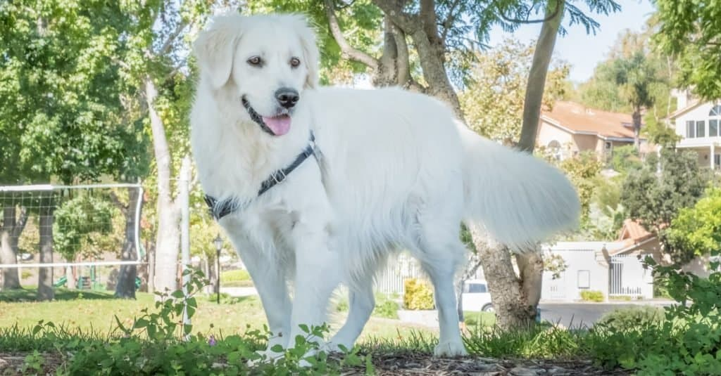 Beautiful English Cream Golden Retriever playing in the park.