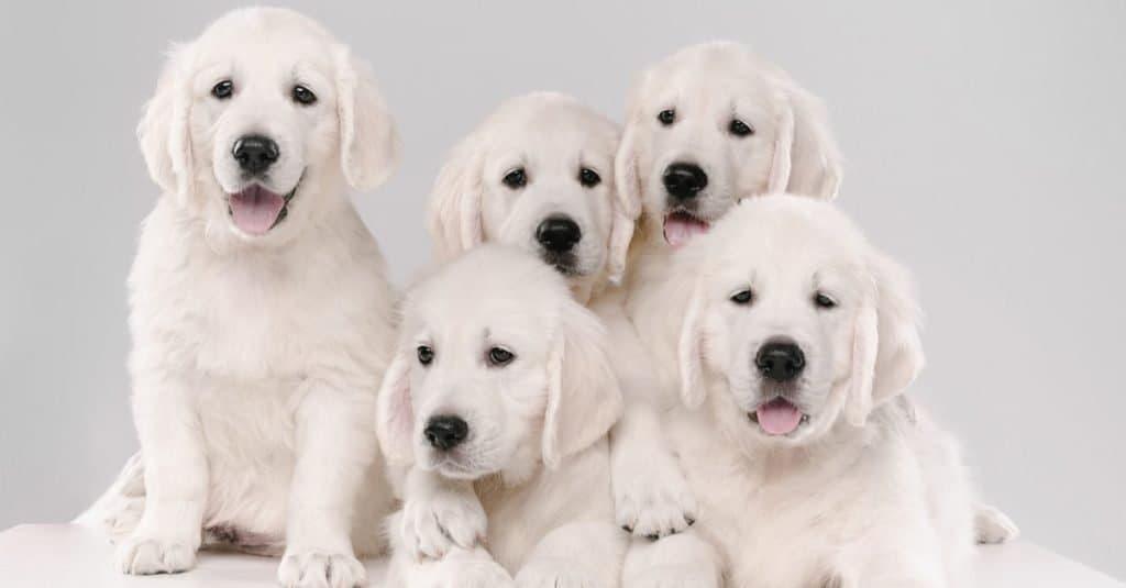 English cream golden retriever puppies posing on a white background.