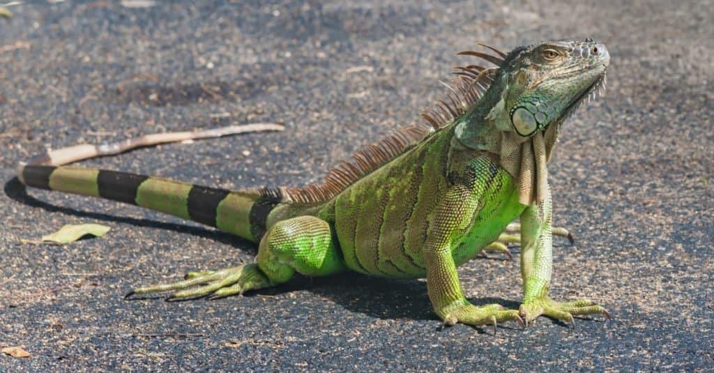 Exotic Pet Ownership Green Iguana