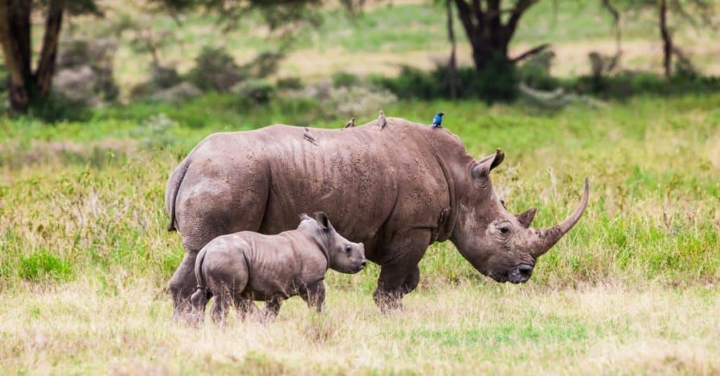 Exotic Pet Ownership Rhinoceros