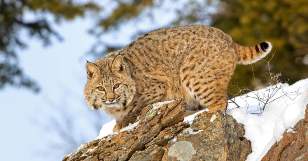 Exotic Pet Ownership Bobcat