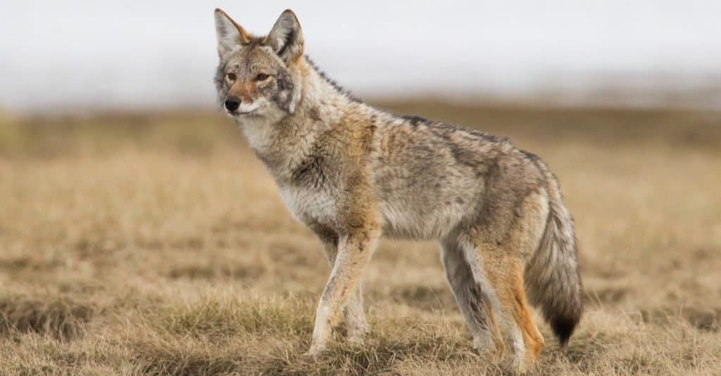 Exotic Pet Ownership coyote