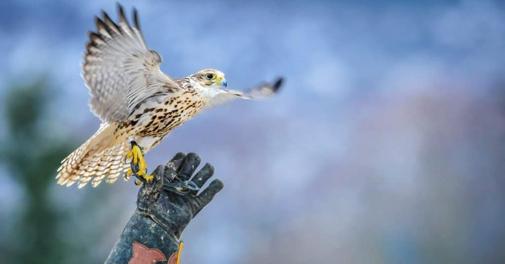 Exotic Pet Ownership falcon